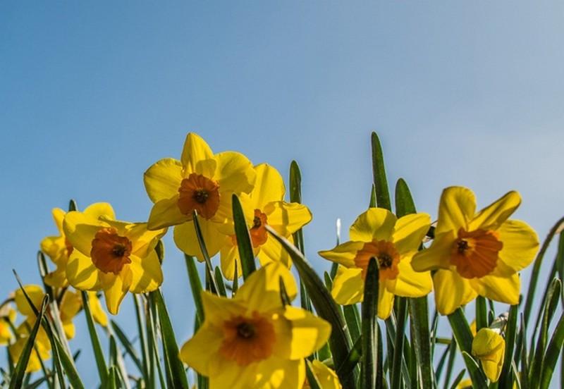 Spring daffoldils